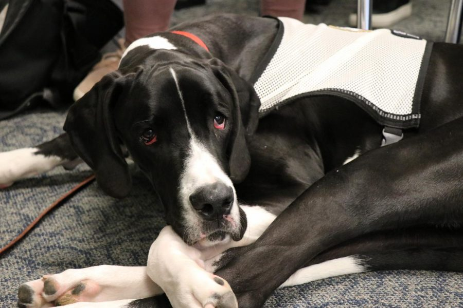 Niles+West+first+service+animal+Chief%2C%C2%A0a+9-month-old+Great+Dane+takes+a+nap+during+an+afternoon+math+class.