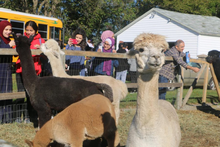 Alpacas watching the student visitors.