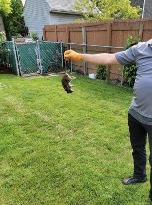 Private exterminator holding up a dead rat that was found in a Lincolnwood residents backyard.
